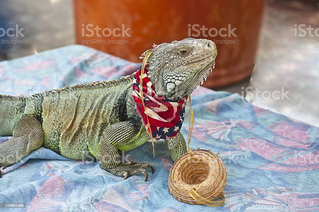 Patriotic Iguana stock photo