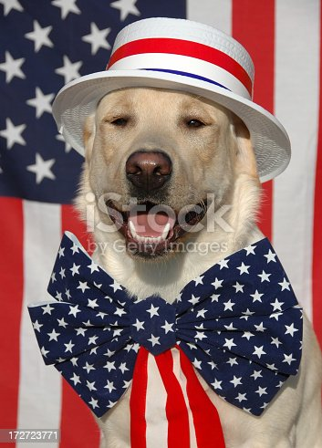 istock Patriotic Labrador dog with USA costume 172723771