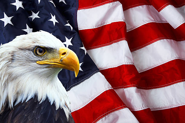 patriotic north american bald eagle on american flag - us flag stok fotoğraflar ve resimler