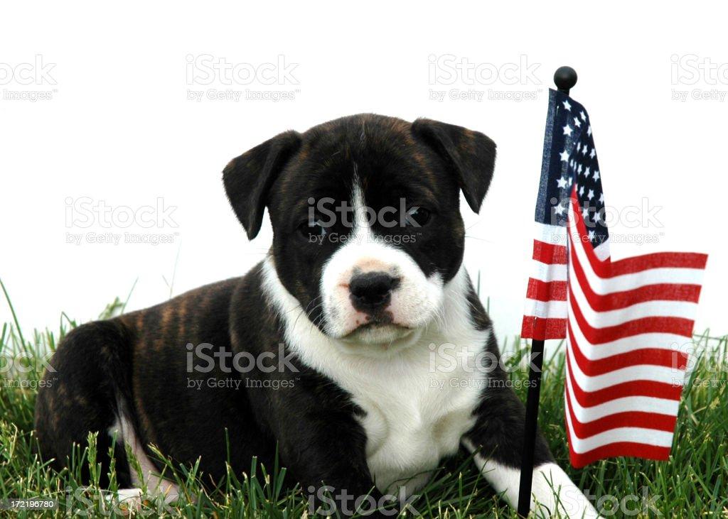 Patriotic pup royalty-free stock photo