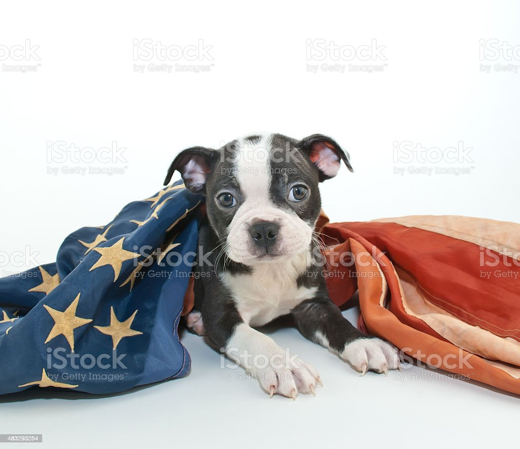 Patriotic puppy stock photo