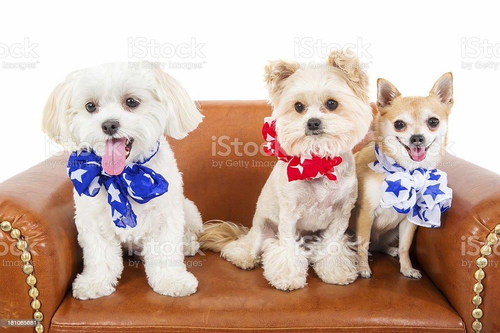 Patriotic Pups royalty-free stock photo