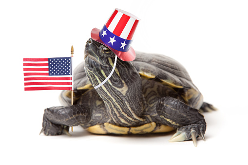 A red eared slider turtle wearing a patriotic hat and holding an American flag.