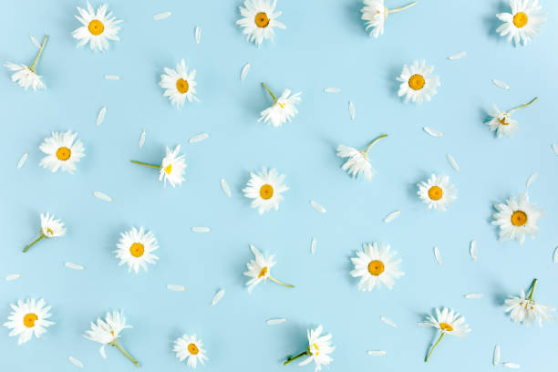 Pattern made of chamomiles petals leaves on blue background flat lay picture id1277448166?b=1&k=6&m=1277448166&s=612x612&w=0&h=9epsjddhoyi jgez3ogbbs6tl09ifx4juhuqnhimhl4=
