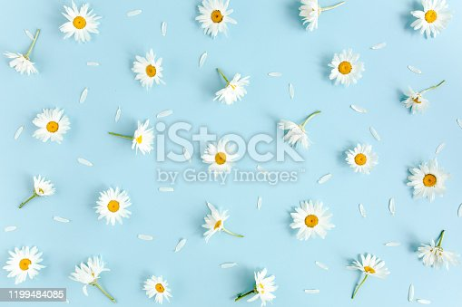 Pattern made of chamomiles, petals on blue background. Flat lay, top view