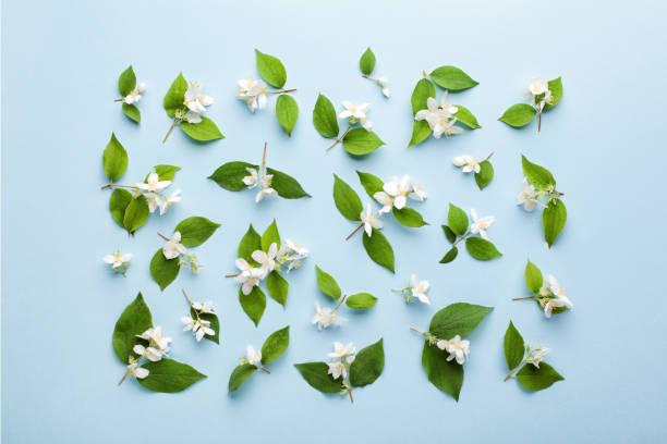 재 스민 꽃과 파스텔 블루 바탕에 나뭇잎 패턴에 의하여 이루어져 있다. - 재스민 뉴스 사진 이미지