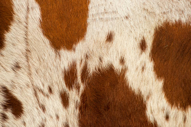 Pattern of a Longhorn bull cowhide. Closeup pattern of a Longhorn bull cowhide. cowhide stock pictures, royalty-free photos & images