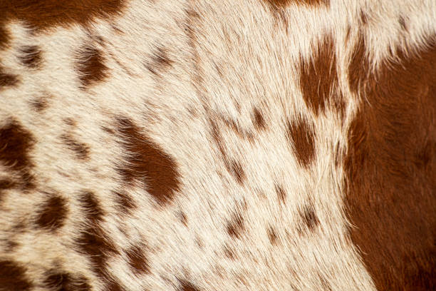 Pattern of a Longhorn bull cowhide. stock photo