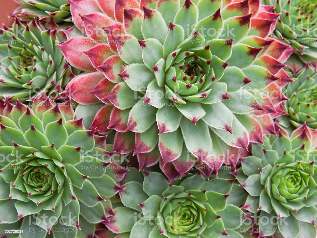 Pattern of fleshy leaves of Sempervivum succulent plants stock photo
