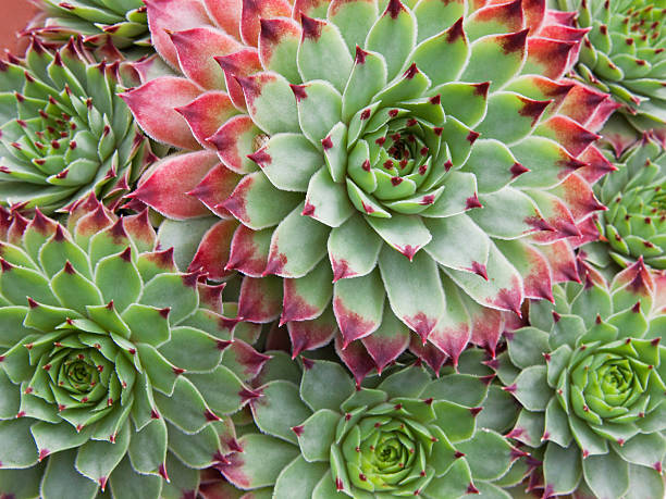 pattern of fleshy leaves of sempervivum succulent plants - foliate pattern stock photos and pictures