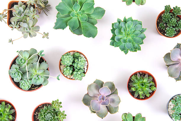 pattern of mixed succulents plant in pot on white background stock photo