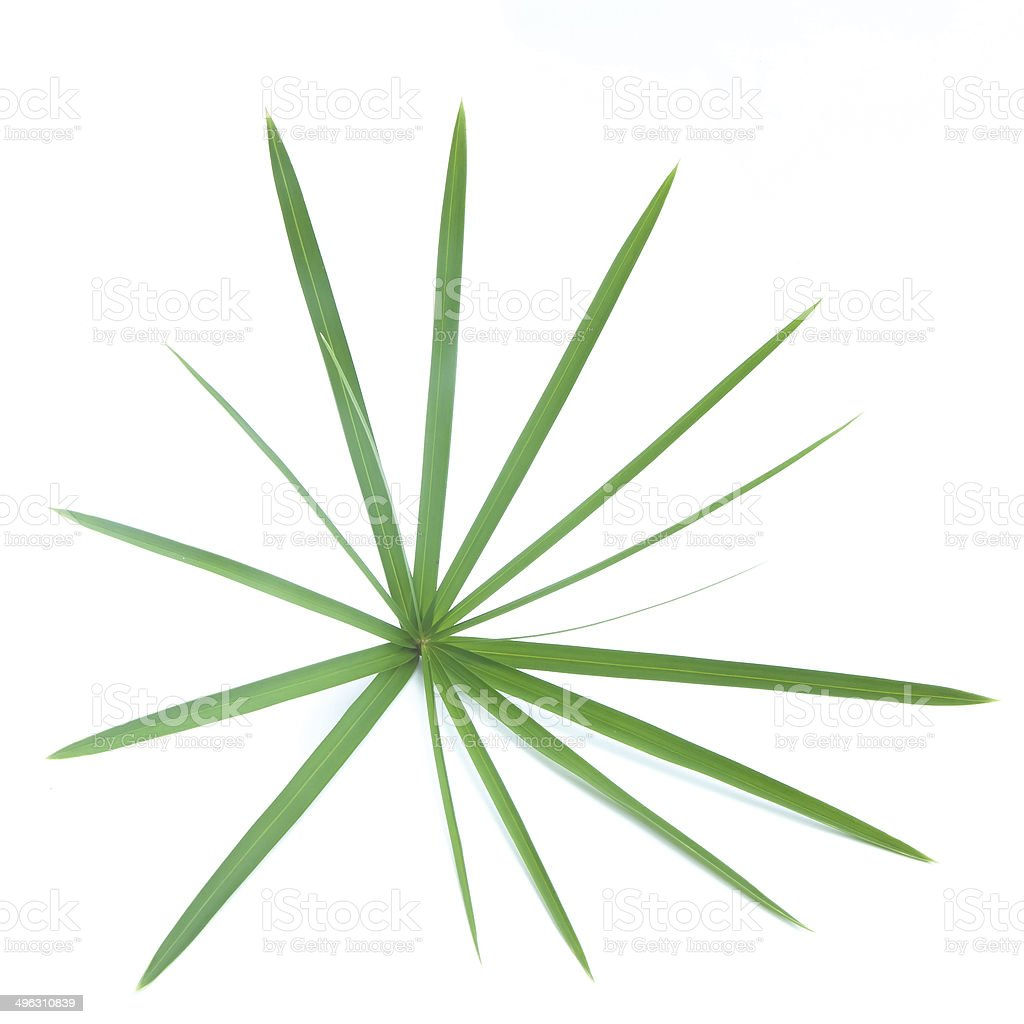 pattern of papyrus leaf isolated stock photo