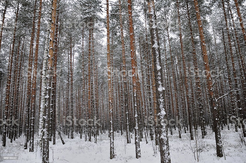 Pattern of the winter pine tree forest royalty-free stock photo