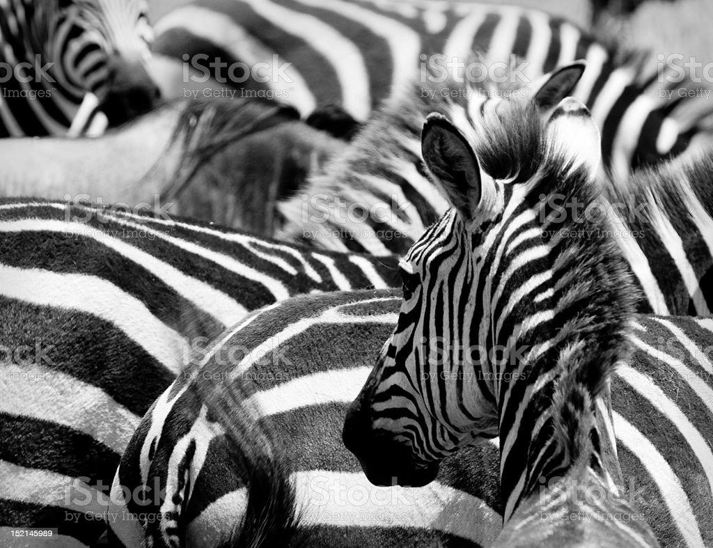 pattern of zebras, masai mara, kenya royalty-free stock photo