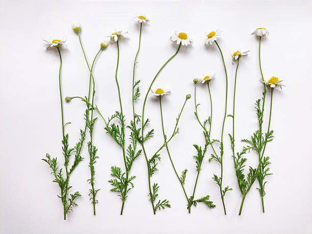 pattern with chamomile flowers on white background - planta de manzanilla fotografías e imágenes de stock