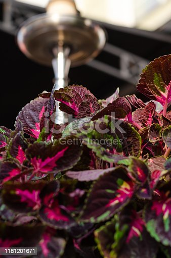 Patterned burgundy green leaves of coleus. Selective focus. Outdoors