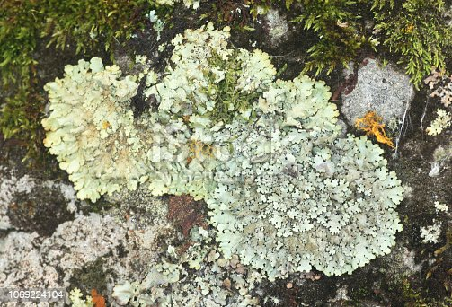 Foliose lichen Flavoparmelia caperata with leaf-like structures is a composite organism that arises from algae or cyanobacteria living among filaments of multiple fungi in a mutualistic relation