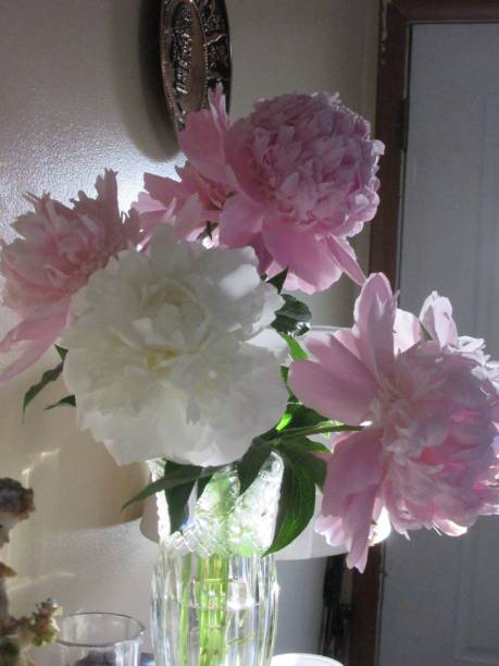 Patty's Pink and White Peonies in Vase stock photo