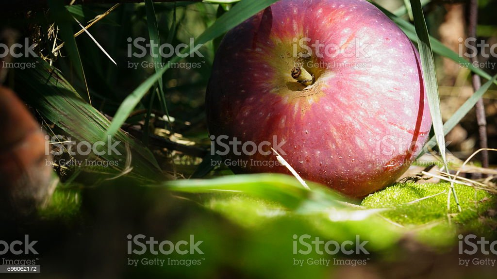 Paula Red Apple on the Moss royalty-free stock photo