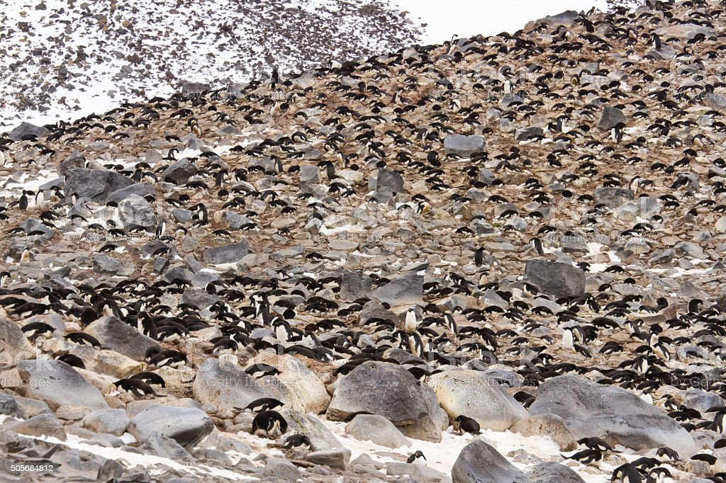 Paulet Island rookery, Antarctica stock photo