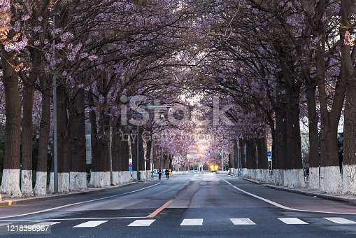 istock Paulownia flowers bloom in spring on both sides of the highway in Beijing, China 1218396967