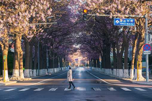 Paulownia flowers bloom on both sides of the highway in Beijing, China in spring, and women wearing masks cross the sidewalk