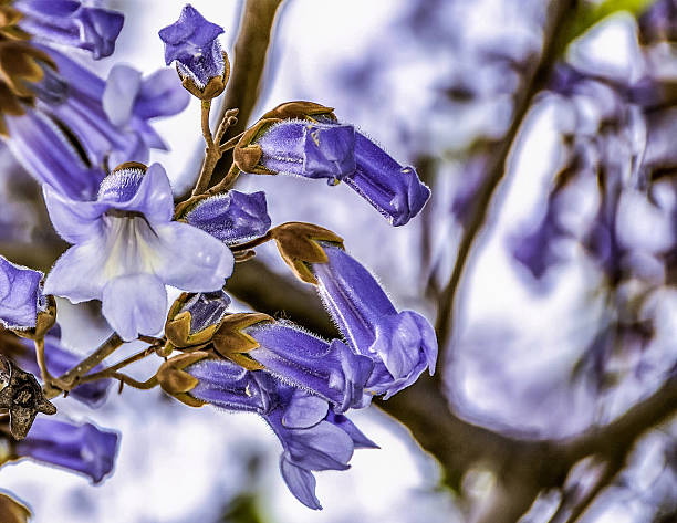 paulownia tree in milan - prinzessin anastasia stock-fotos und bilder