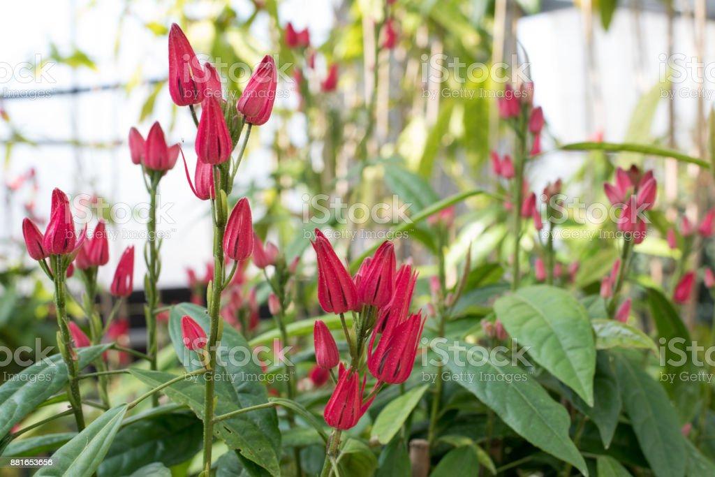 Pavoia multiflora stock photo