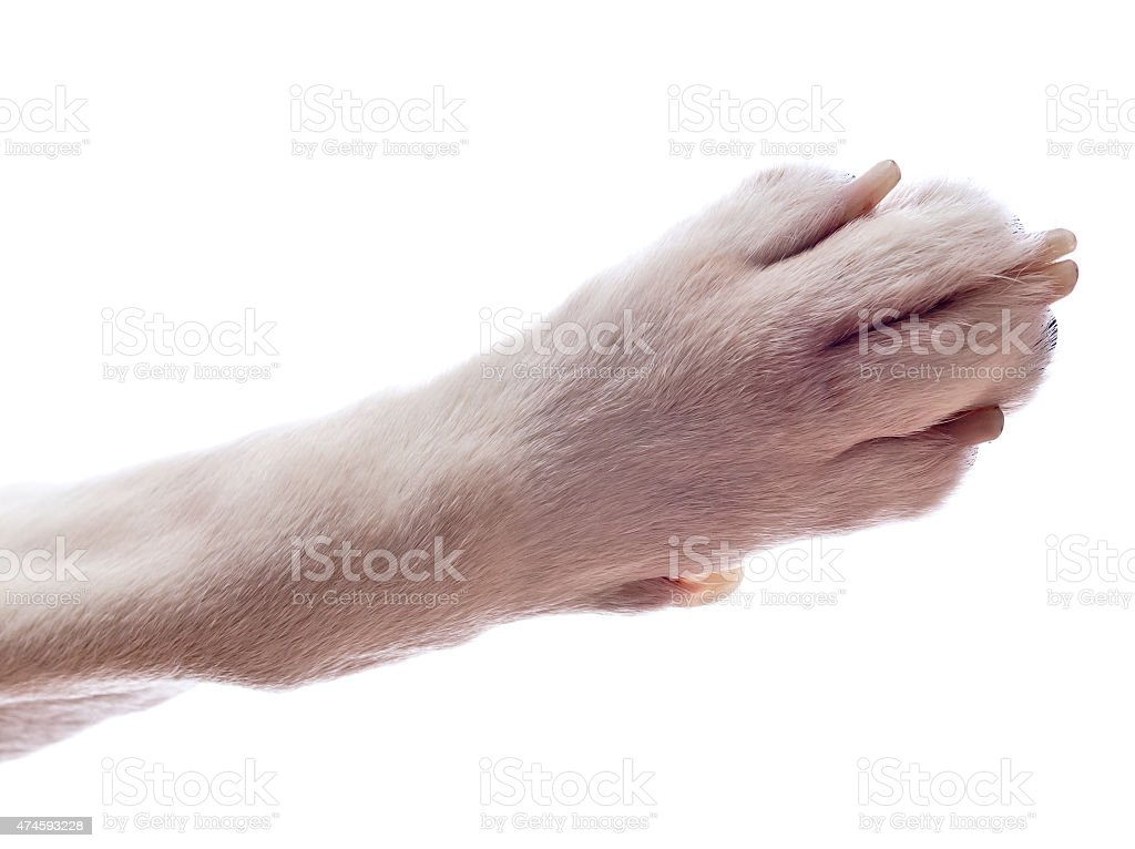 Paw of a dog , isolated on white stock photo