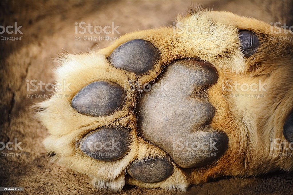 Paw of Lion stock photo