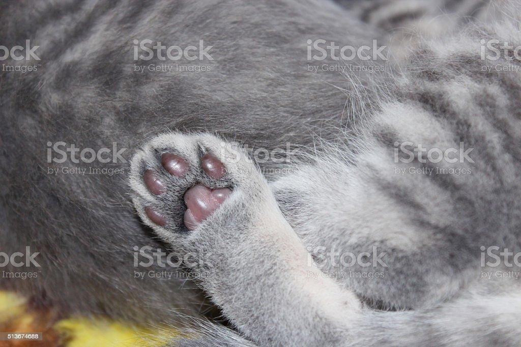 paw of little nice and amusing kitties of Scottish Fold