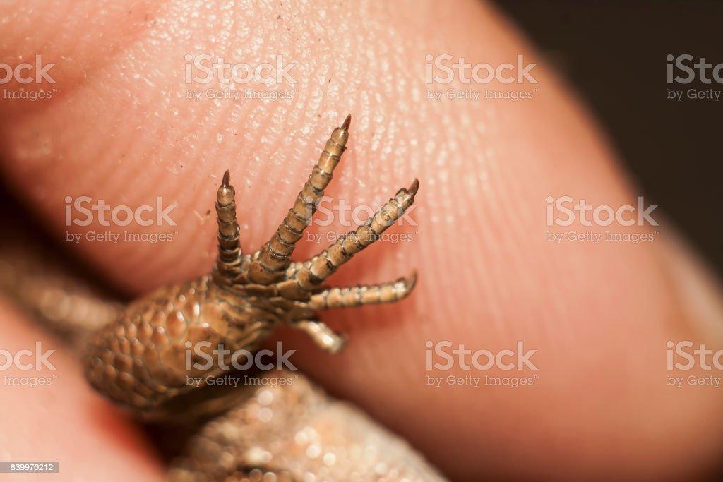 paw of lizard stock photo