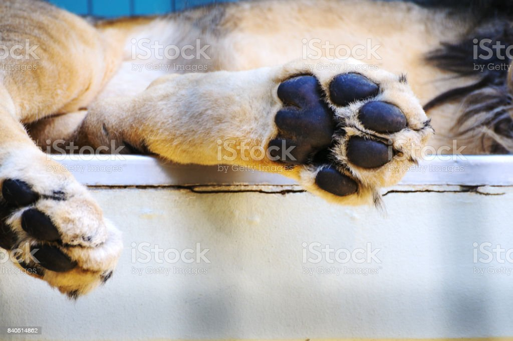 Paw of sleeping lion in zoo stock photo