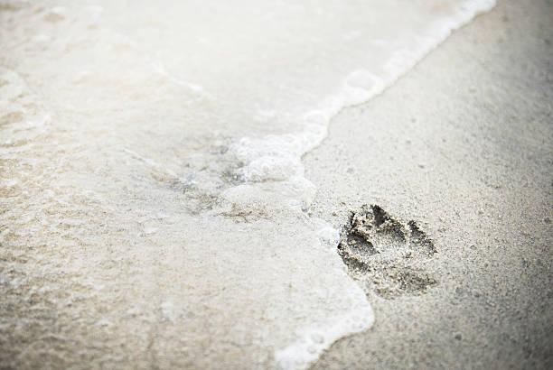Paw print in sand at the dog beach picture id487786509?b=1&k=6&m=487786509&s=612x612&w=0&h=ws5bcup bovfnxthdqpveex85tkffykhxoayhz ufva=