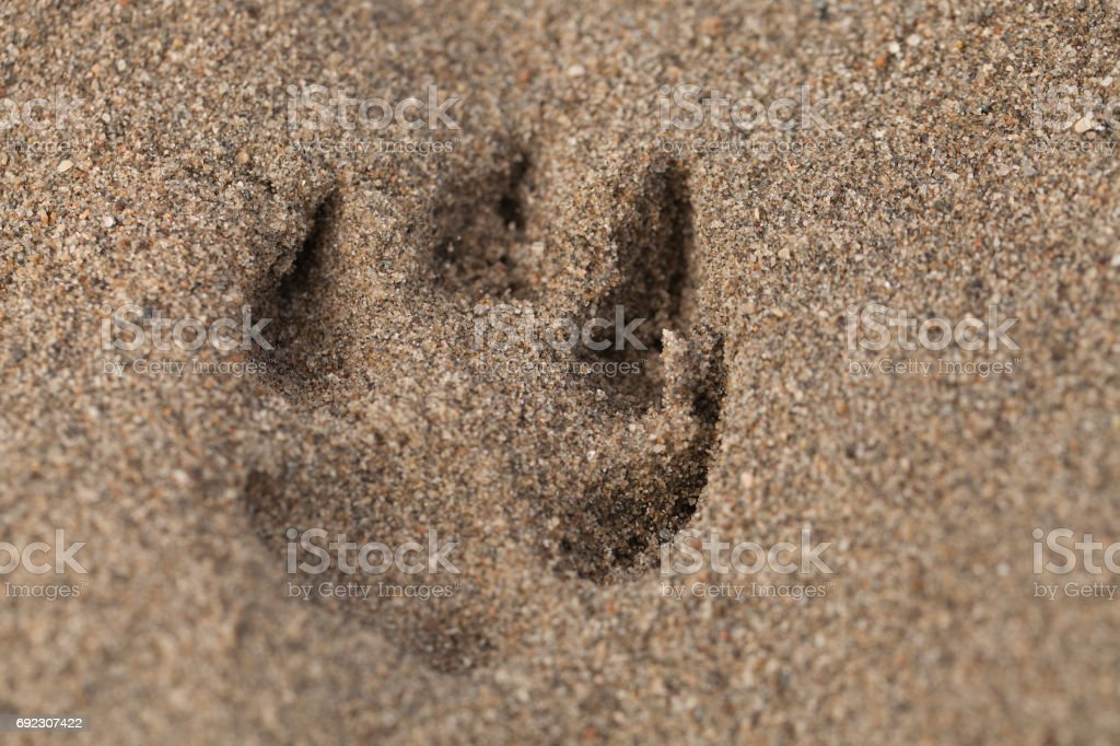 Paw print in the sand stock photo