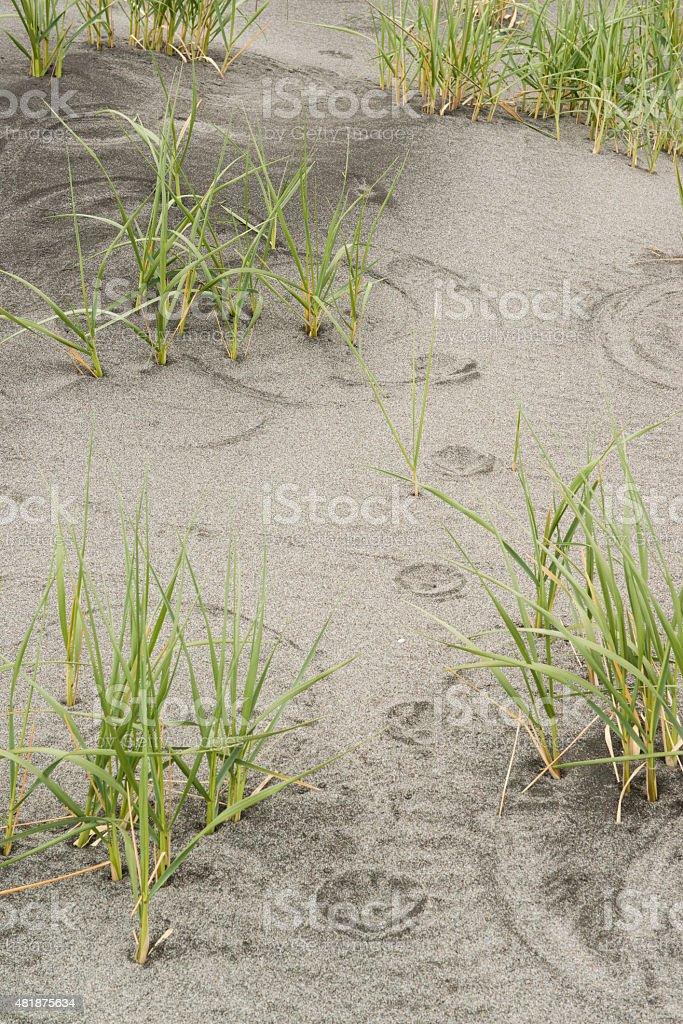 Paw Prints in Sand dune stock photo