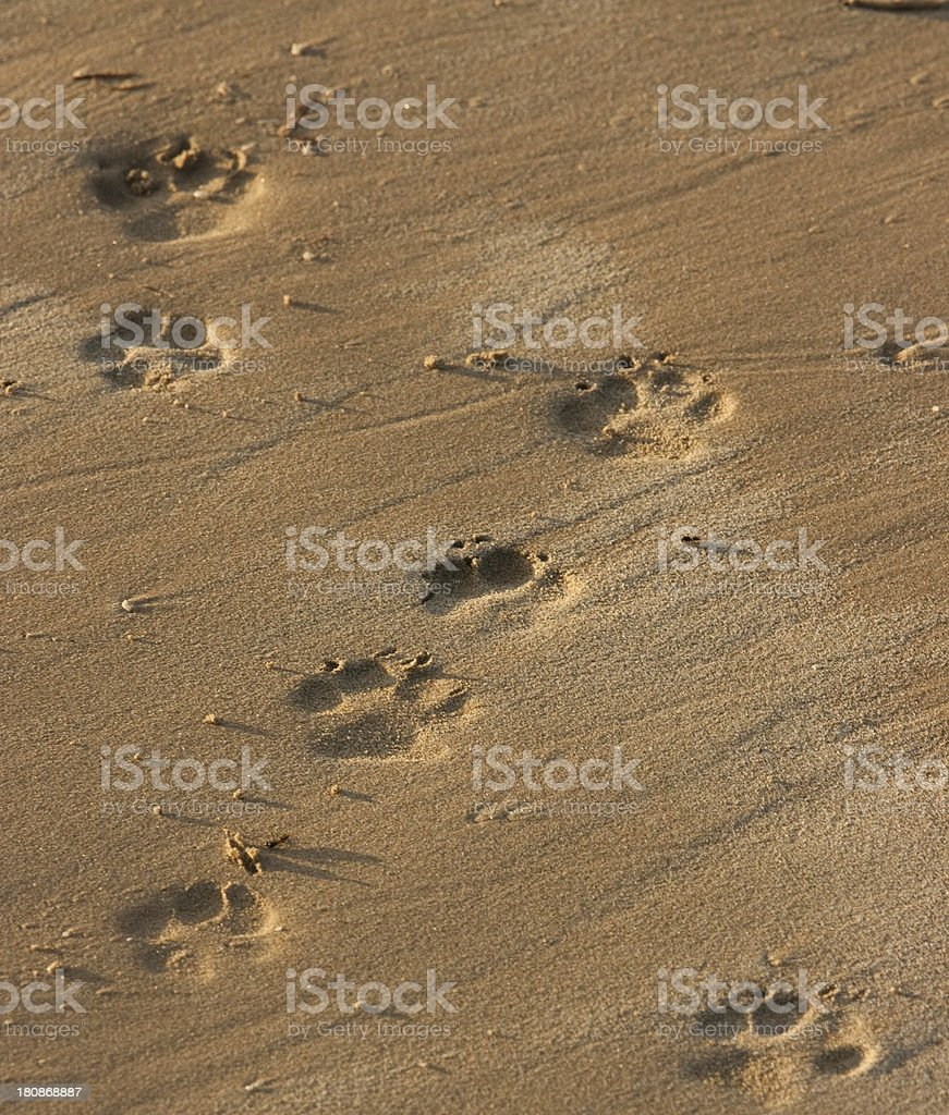 Paw Prints in the Sand. stock photo