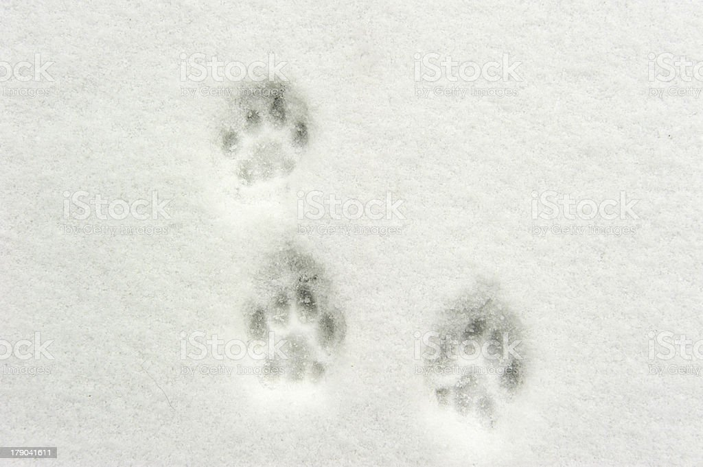 Paw prints in the snow stock photo