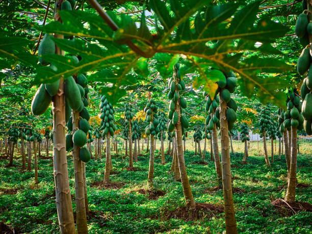 pawpaw bomen in costa rica - midden amerika stockfoto's en -beelden