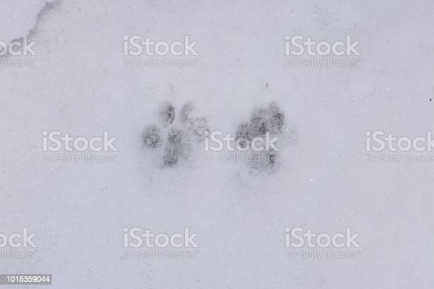 Pawprints in the snow uk picture id1015359044?b=1&k=6&m=1015359044&s=612x612&h=9czfp4kedj9xrznwgng a8ovqgvlwhqezelx67peqbm=