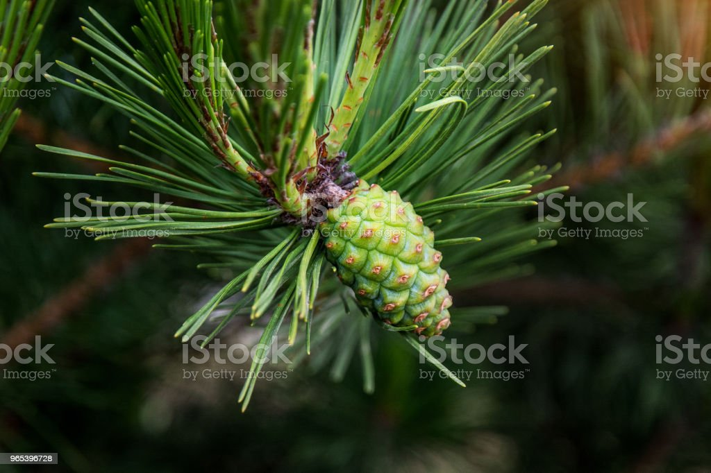 Paws Christmas trees are decorated with bright colorful buds, a beautiful spruce forest. zbiór zdjęć royalty-free