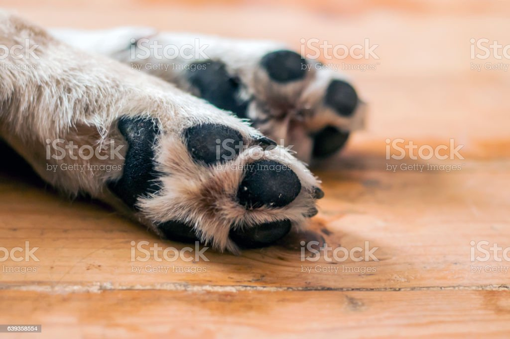 paws of a big dog on the wooden floor – Foto