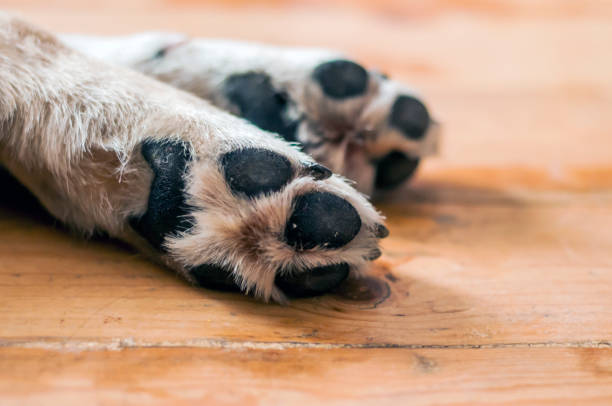 paws of a big dog on the wooden floor - gliedmaßen stock-fotos und bilder
