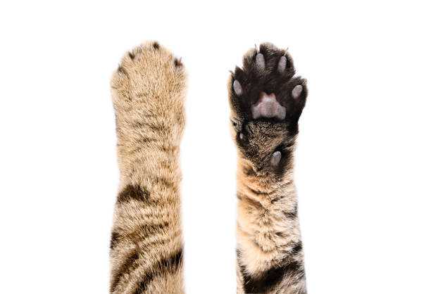 Paws of a cat Scottish Straight, top and bottom view, isolated on white background Paws of a cat Scottish Straight, top and bottom view, isolated on white background paw stock pictures, royalty-free photos & images