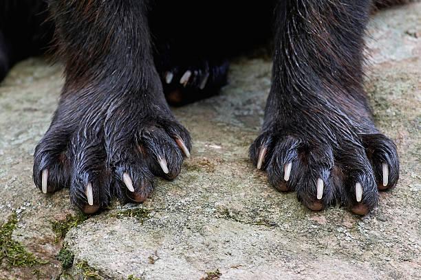 paws of a wolverine (gulo gulo) - rosomak zdjęcia i obrazy z banku zdjęć