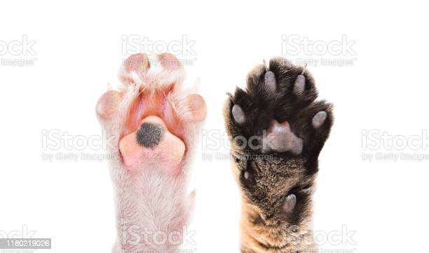 Paws of cat and dog together isolated on white background picture id1180219026?b=1&k=6&m=1180219026&s=612x612&h=vd0dn2lt7 inkaqhnonrrpqldqfoes7joltz9hr6zoy=
