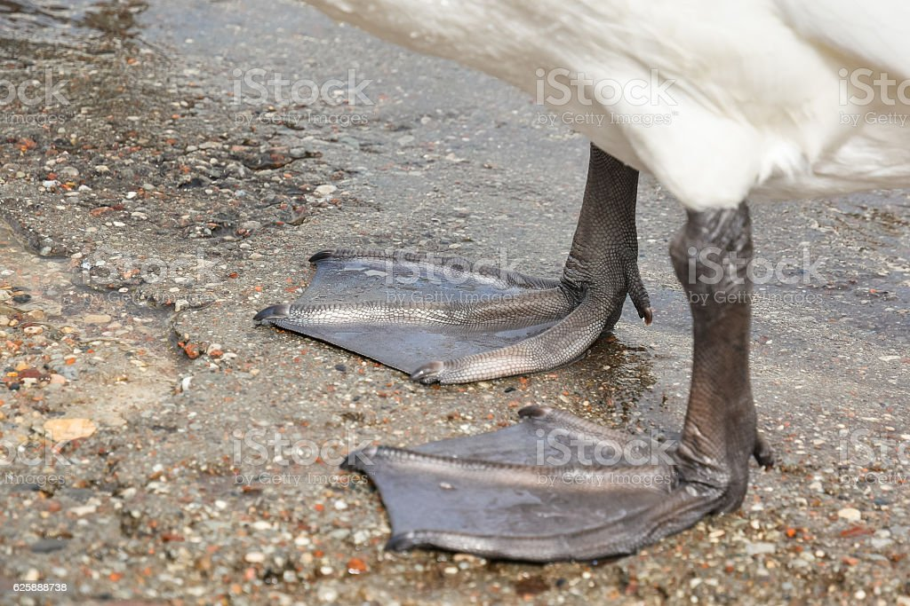 Paws white swan standing near the water close up – Foto