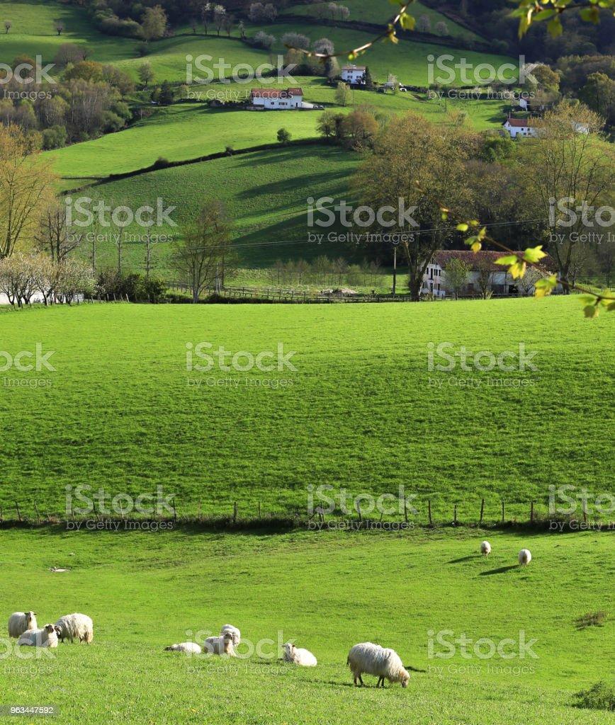 Bask Ülkesi - Royalty-free Büyük ve Küçükbaş Hayvanlar Stok görsel