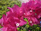 """""""Kendari, Indonesia – November 07, PBougainvillea glabra, the lesser bougainvillea or paperflower, is the most common species of bougainvillea used for bonsai. The epithet 'glabra' comes from Latin and means \"""