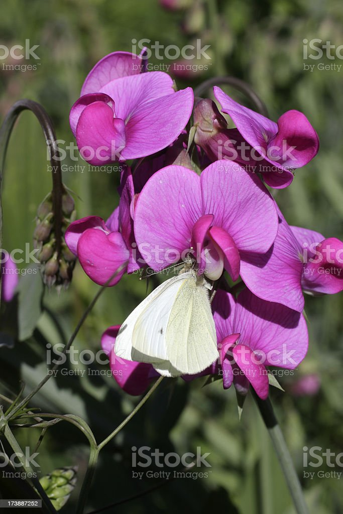 White butterfly on pink flowered broad-leaved everlasting pea royalty-free stock photo
